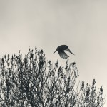 Bohemian waxwing taking off