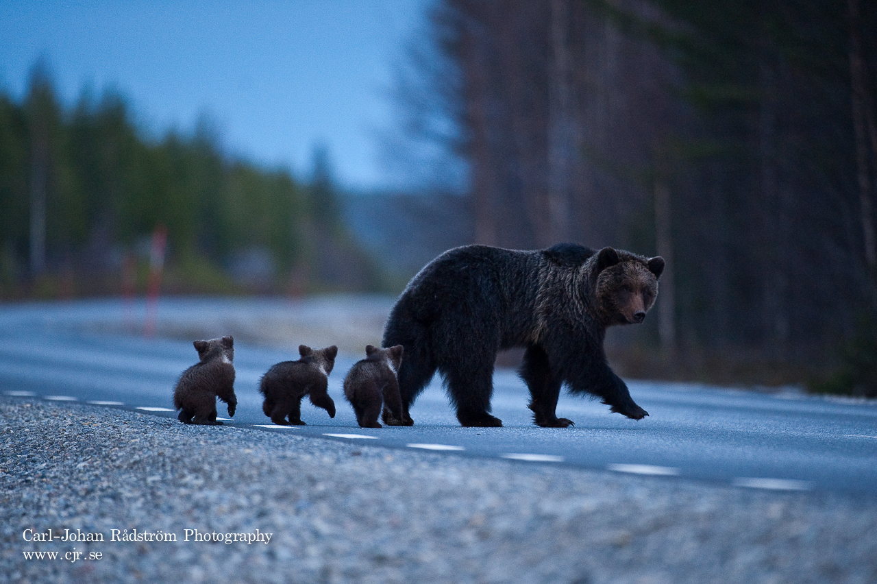 Bear family crossing the road