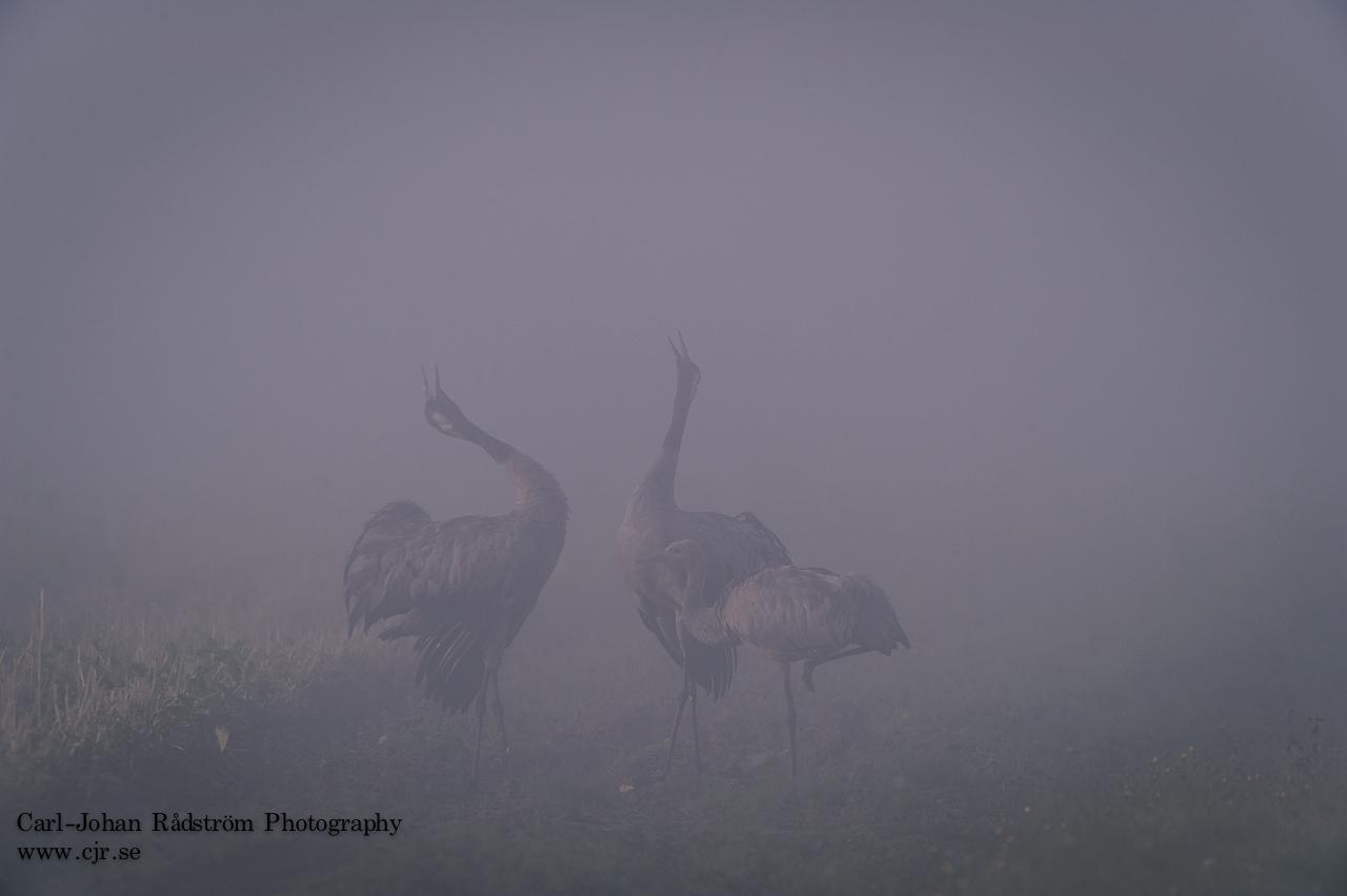 Cranes in mist