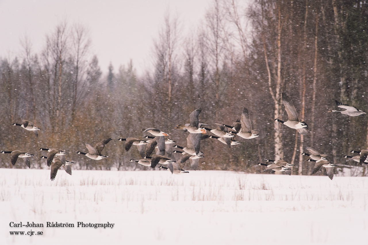 Bean Goose, Canada Goose and a Crane in a snowstorm