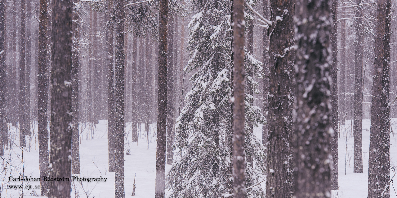 Pine trees in snowfall