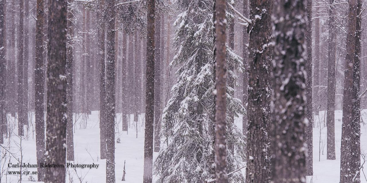 Pine trees in snowfall