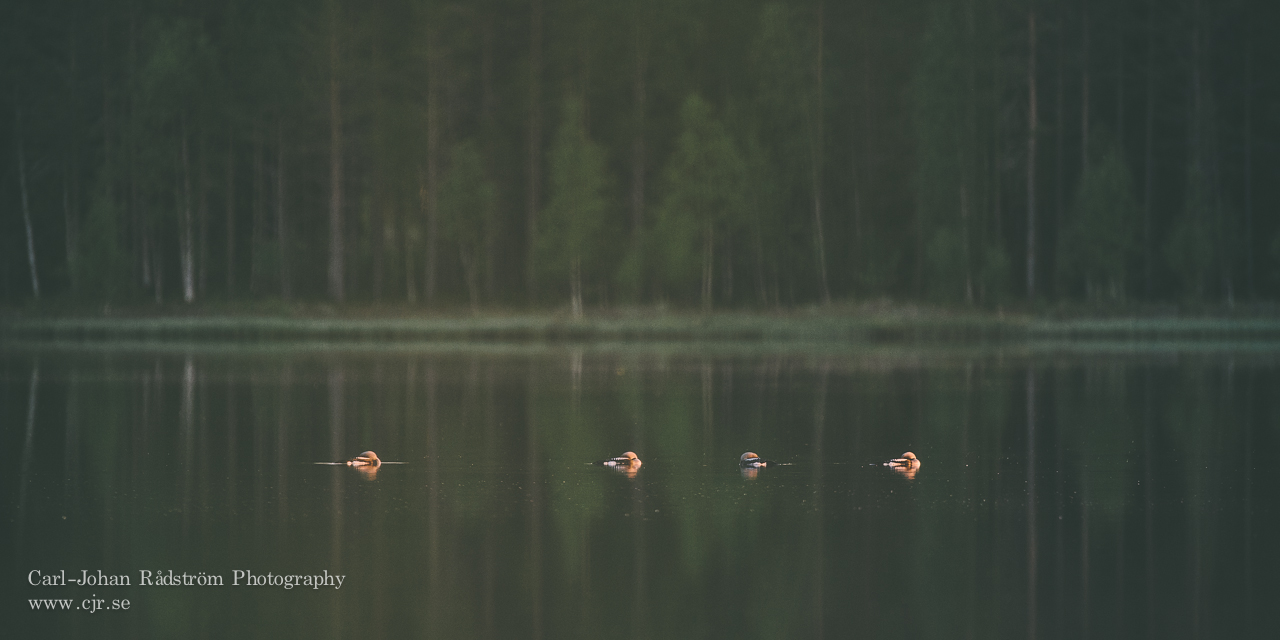 Four Black-throated Loons sleeping on lake Söråselesjön at sunset.