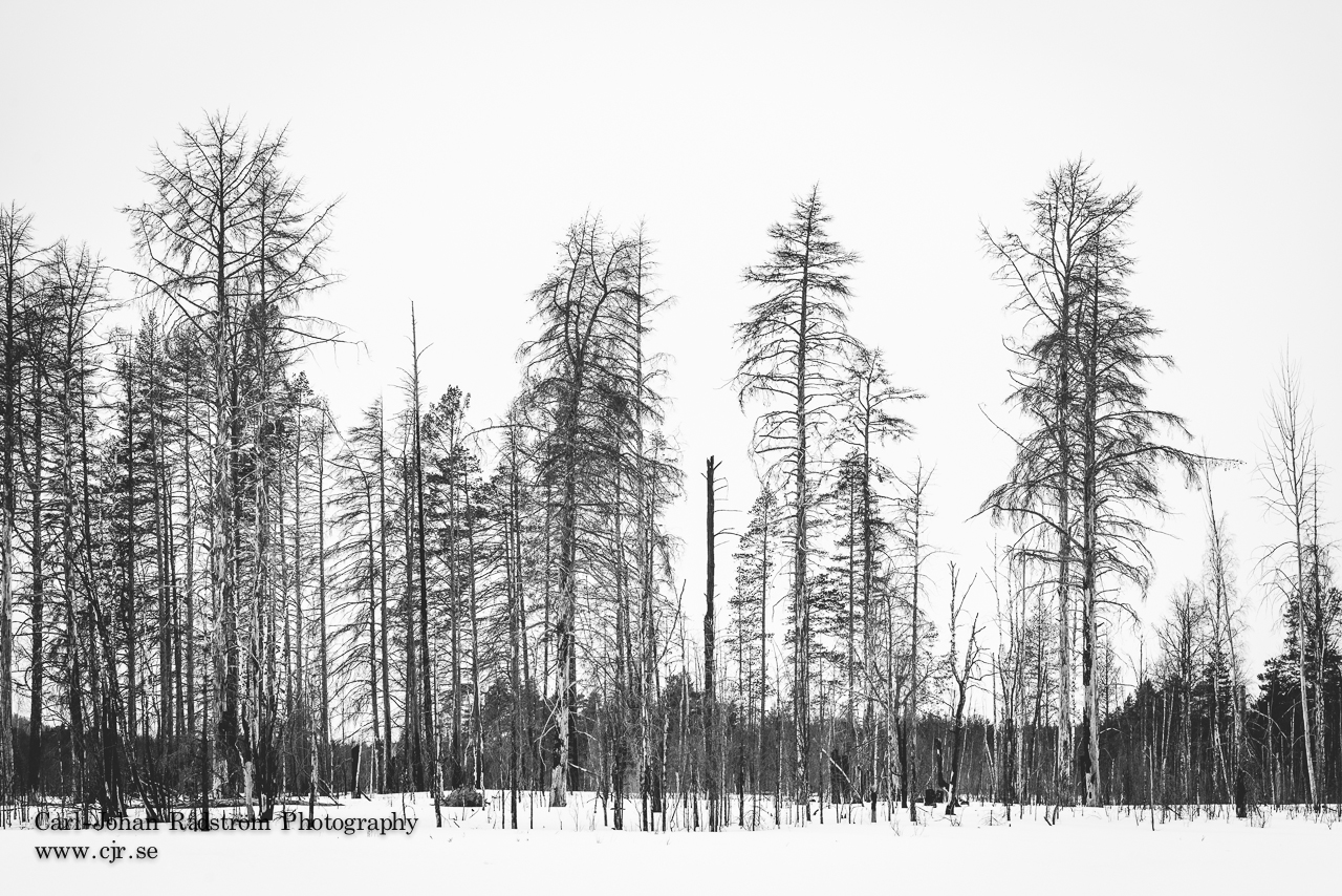 Burnt forest along the stream Stamsjöån