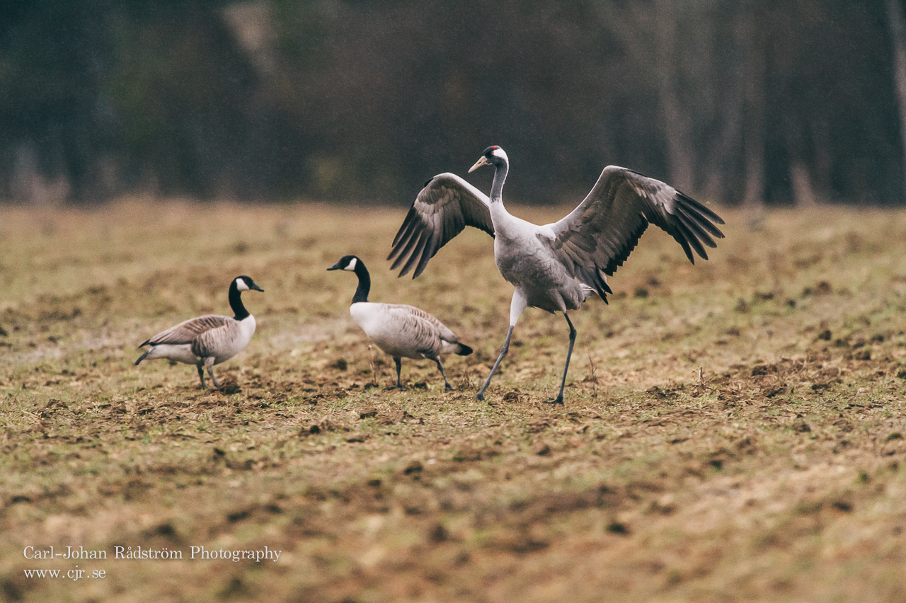 Common Crane and two Canada geeses