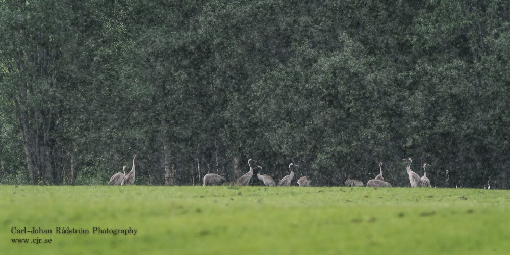 Common Cranes in heavy rain