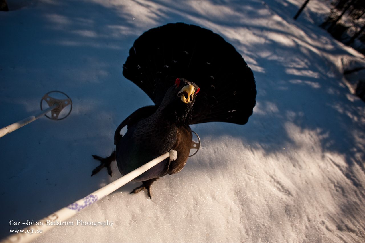 20100412_sorasele_black_grouse_0173