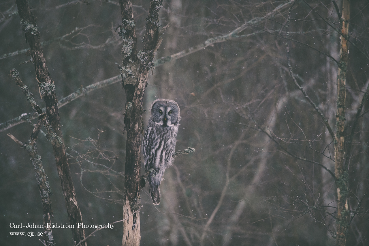 Great Grey Owl, Lappuggla