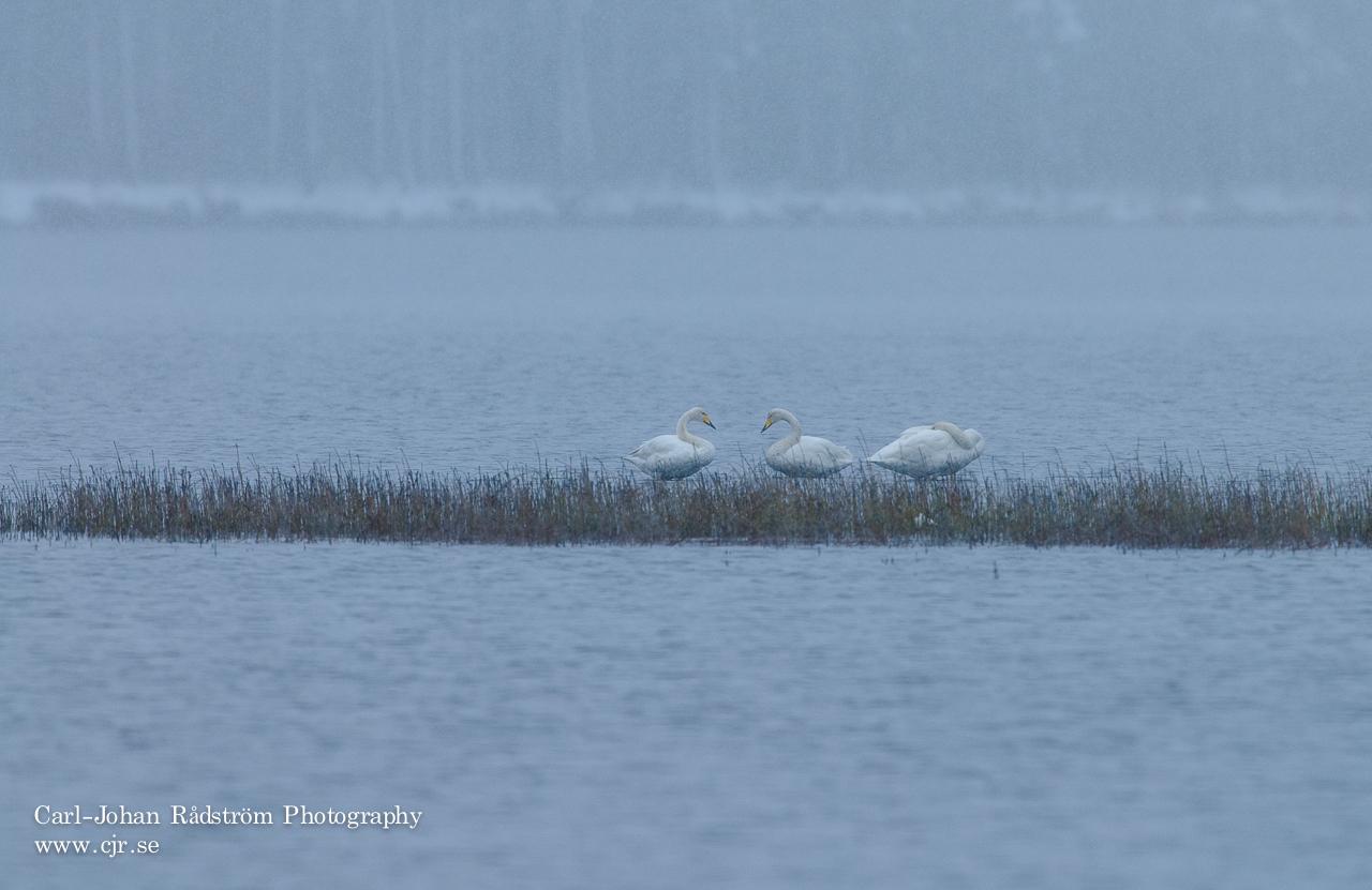 3 svanar i årets första snöfall