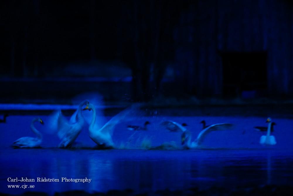 Heta vårkänslor mellan svanar