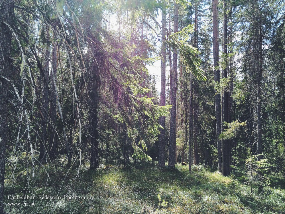 Soligt i skogen