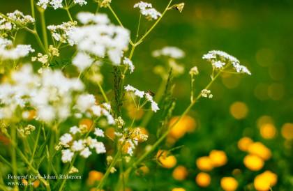 Sommar blomster