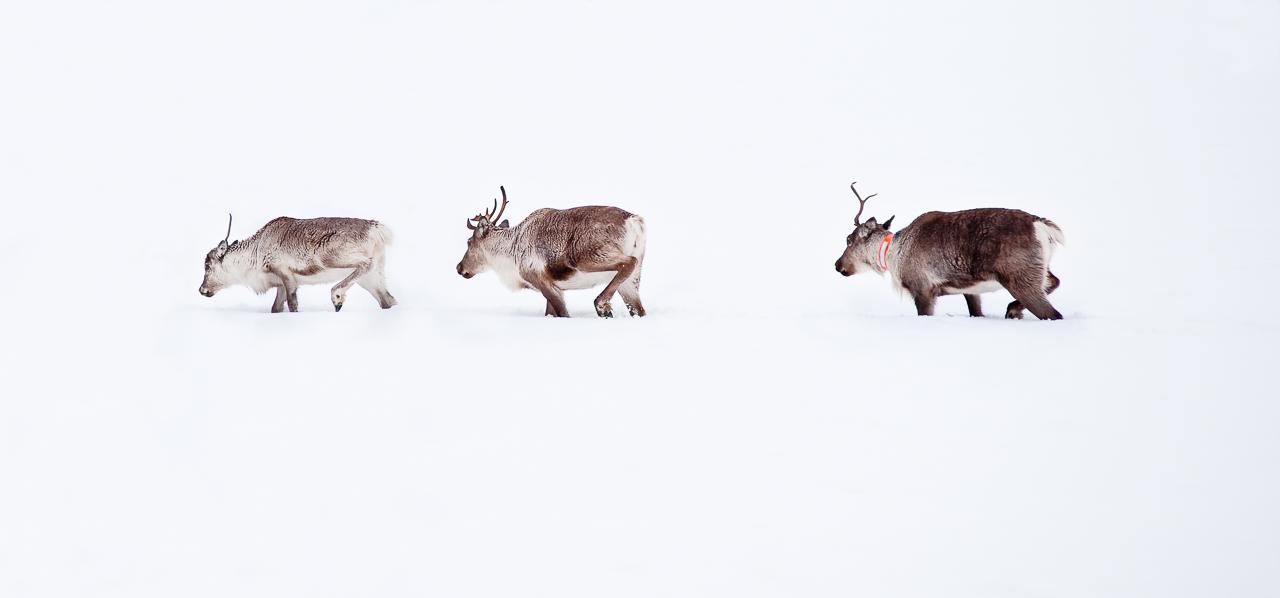 20100409_sorasele_reindeer_0001